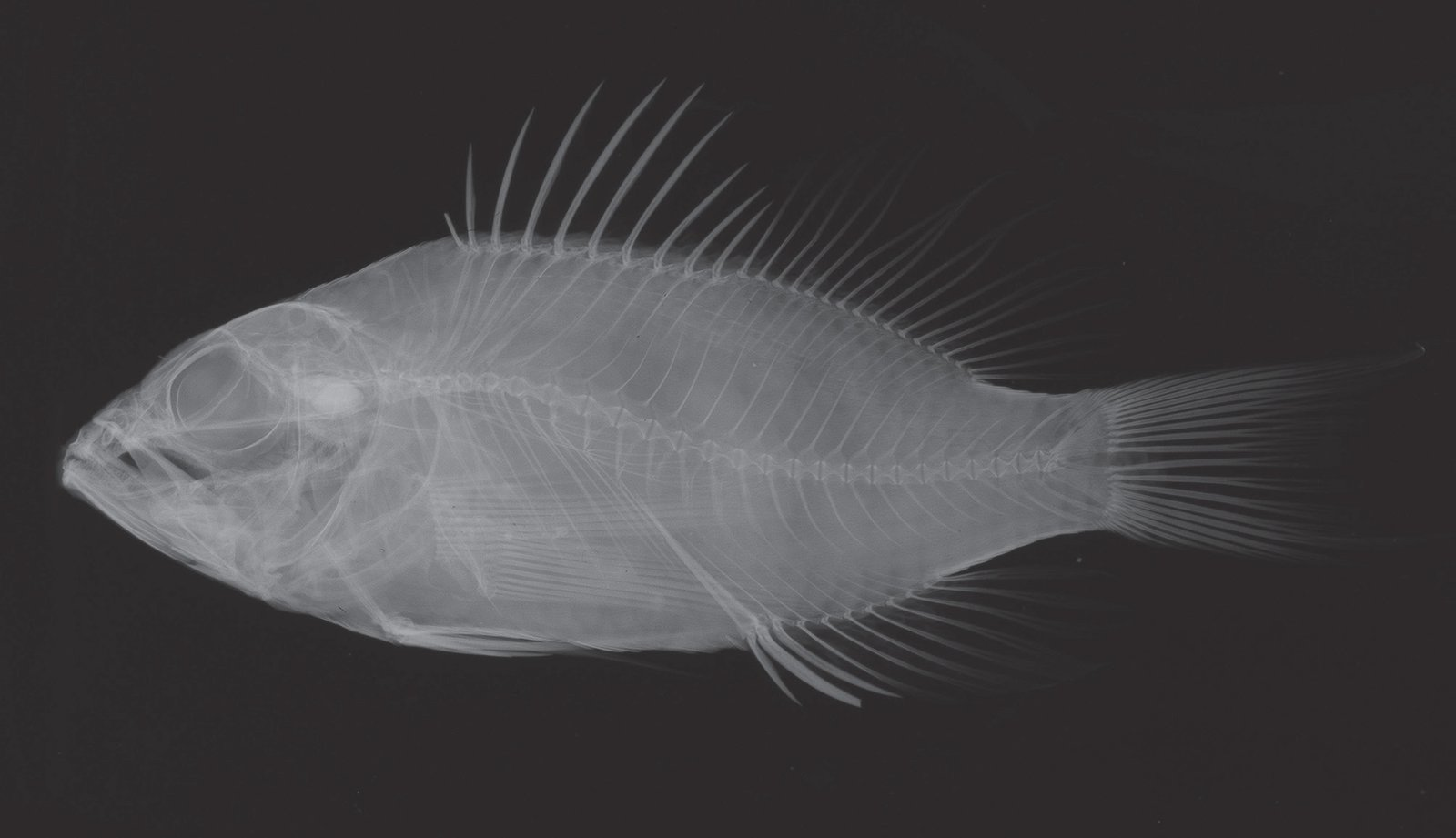 : X-ray of holotype, Plectranthias cruentus (AMS I.42725-007). X-rays are used to study the skeleton of a fish without damaging the specimen in any way, different skeletal features can help identify and separate species.