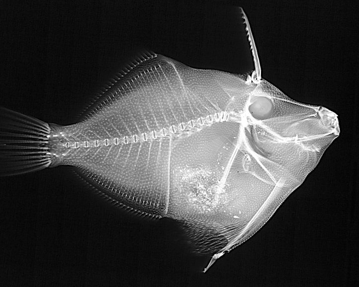 X-ray of leatherjacket