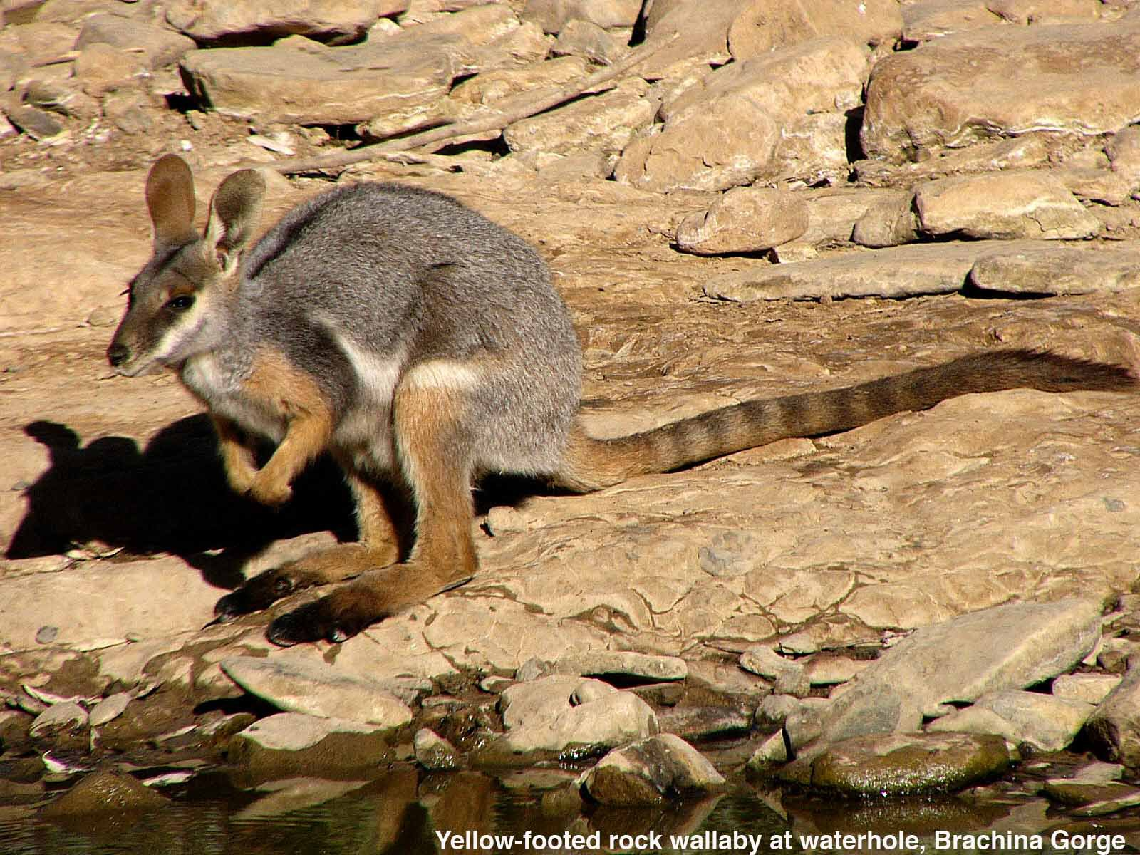 An adult Yellow-footed Rock-wallaby, Petrogale xanthopus xanthopus comes to drink at a waterhole in Brachina Gorge, Flinders Ranges, SA