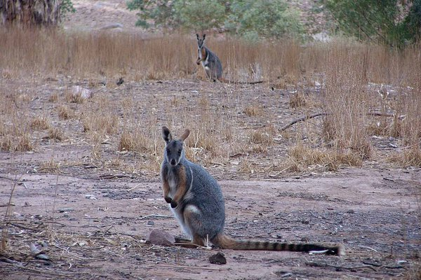 Although usually associated with steep rocky areas, Yellow-footed Rock-wallabies, Petrogale xanthopus xanthopus will also utilise more flat open areas for foraging.