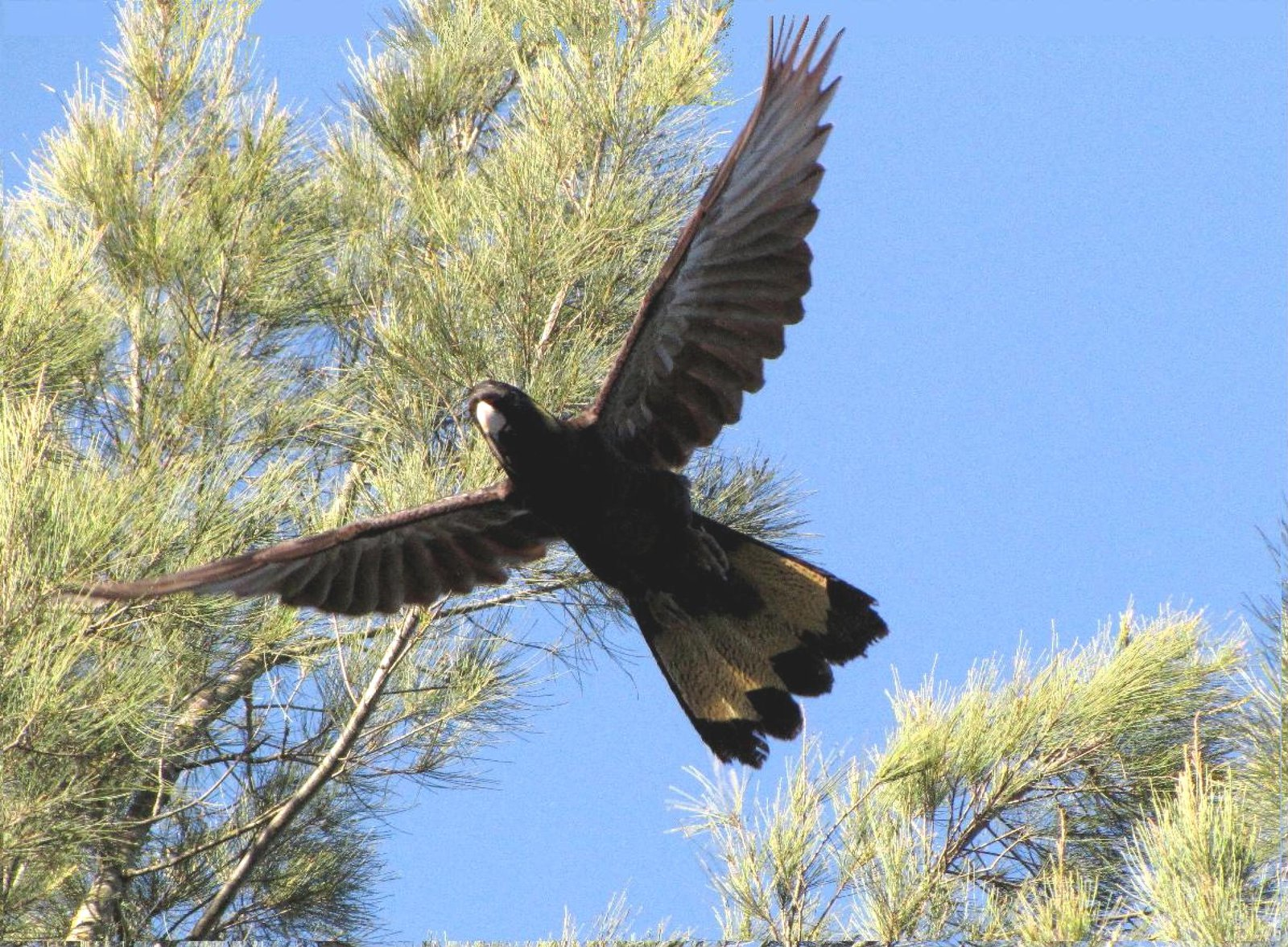 Yellow-tailed Black-cockatoo flying