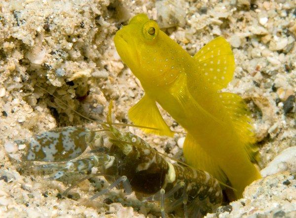 Yellow Shrimpgoby, <i>Cryptocentrus cinctus</i>