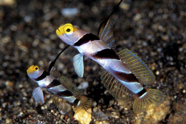 Yellowface Shrimpgoby, <i>Stonogobiops xanthorhinica</i>