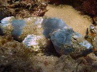 Yellowfin Scorpionfish, Scorpaenopsis neglecta