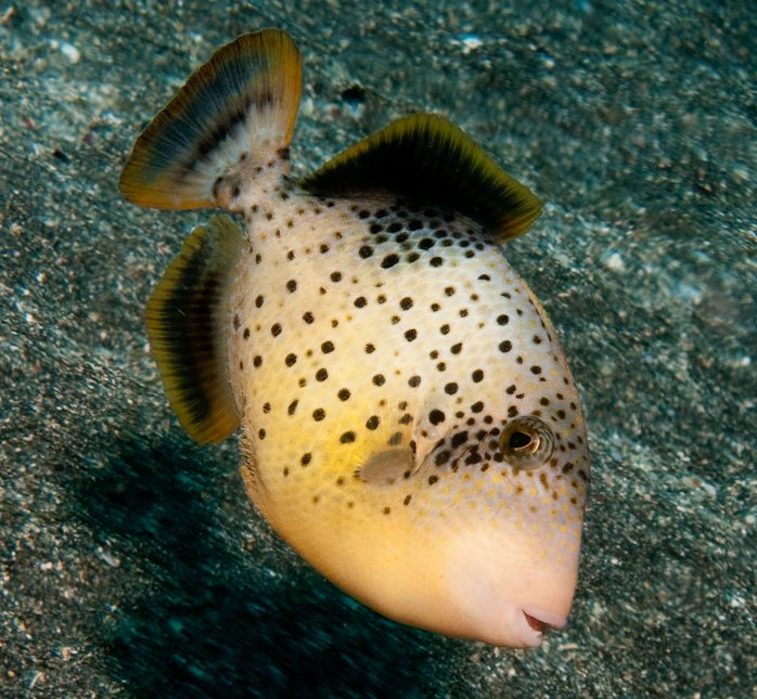 Yellowmargin Triggerfish, Pseudobalistes flavimarginatus