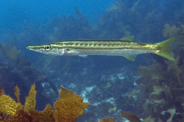 Yellowtail Barracuda, Sphyraena obtusata