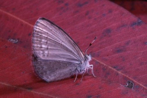 Common Grass Blue, Zizina labradus
