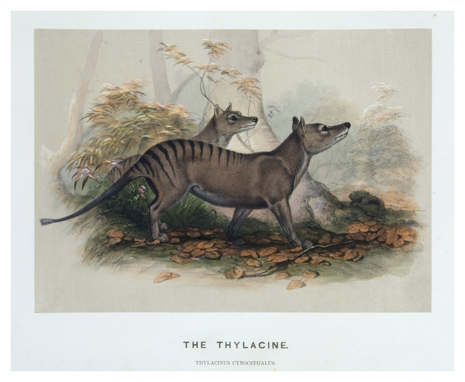 Zoological sketches by Joseph Wolf made for the Zoological Socie