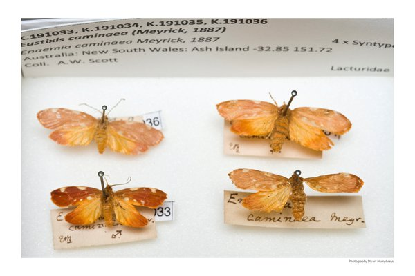 Eustixis caminaea from the Scott collection