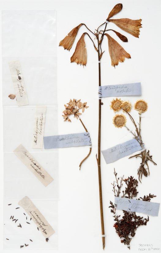 Christmas Bells, Milkmaid, Everlasting Daisy and Tea-Tree specimens