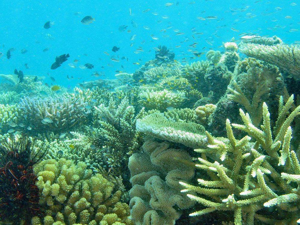 Healthy corals at Lizard Island in early January 2021, just before bleaching began.