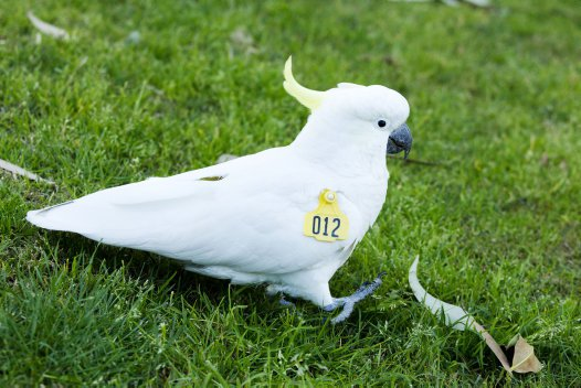 Wingtag Cockatoo