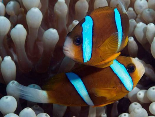 Barrier Reef Anemonefish, Amphiprion akindynos