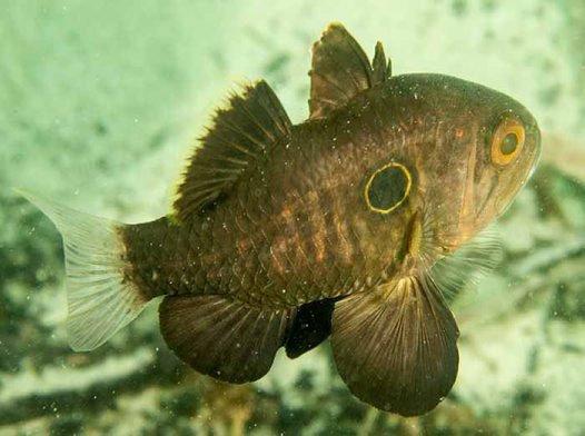 Bulls-eye Cardinalfish