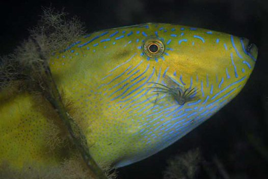 Spinytail Leatherjacket, <i>Acanthaluteres brownii</i>