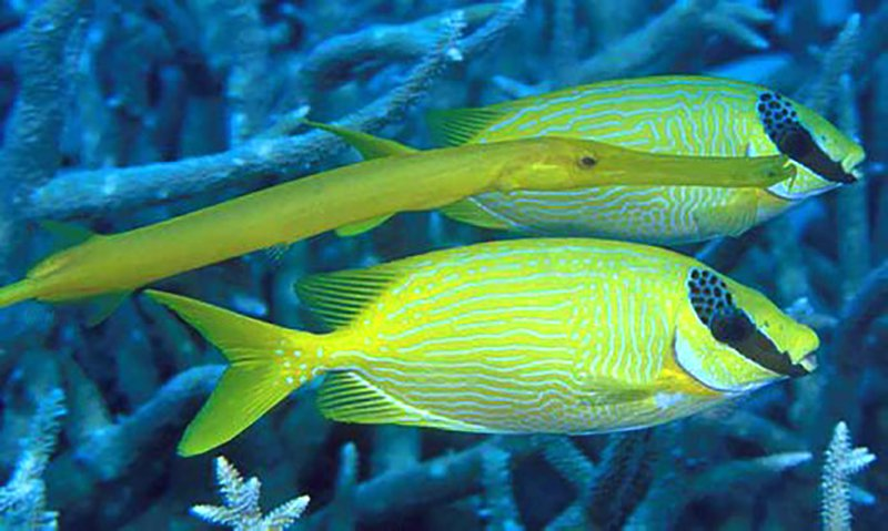 Trumpetfish swimming with two Masked Rabbitfish
