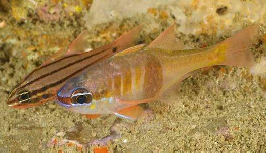 Lea's Cardinalfish, <i>Archamia lead</i>