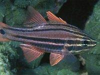 Sydney Cardinalfish, Ostorhinchus limenus