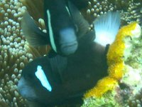McCulloch's Anemonefish, <i>Amphiprion mccullochi</i>