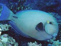Pale Surgeonfish, <i>Acanthurus mata</i>