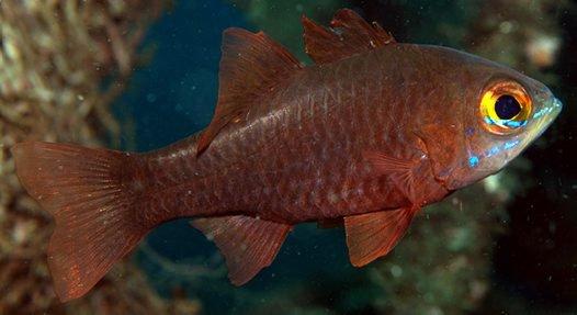 Moluccan Cardinalfish, <i>Ostorhinchus monospilus</i>