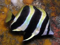 Lord Howe Butterflyfish