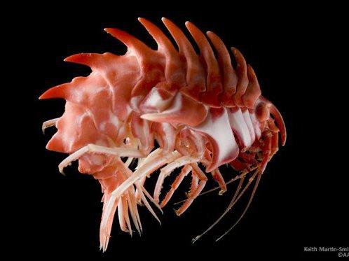 Antarctic amphipod