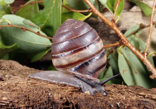 Kimberley land snail: Amplirhagada boongareensis