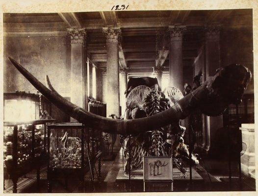 Australian Museum Archives AMS421/Album XX/pYY/v1231