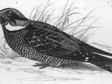 Illustration of Nests and Eggs of Birds