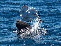 Australian Fur Seal eating an Eastern Angelshark