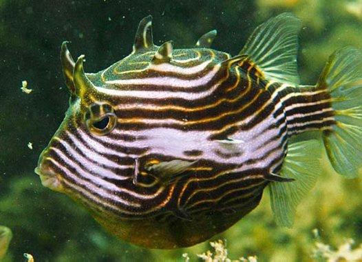 Female Ornate Cowfish