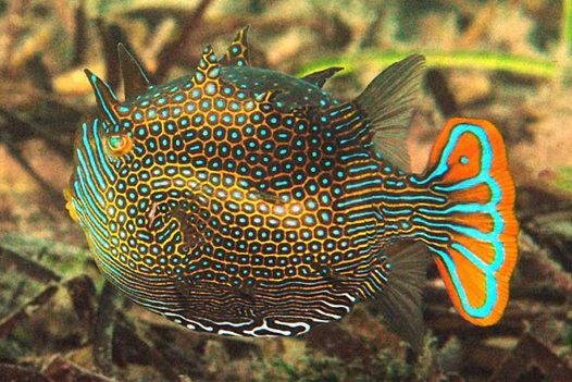 Ornate Cowfish, Aracana ornata