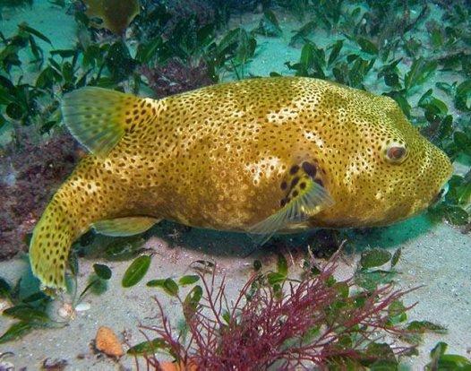 Starry Pufferfish, Arothron stellatus