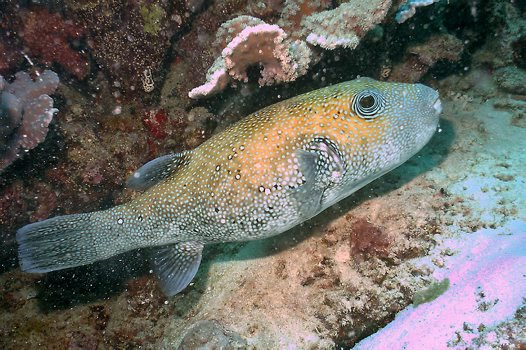 Bluespotted Puffer