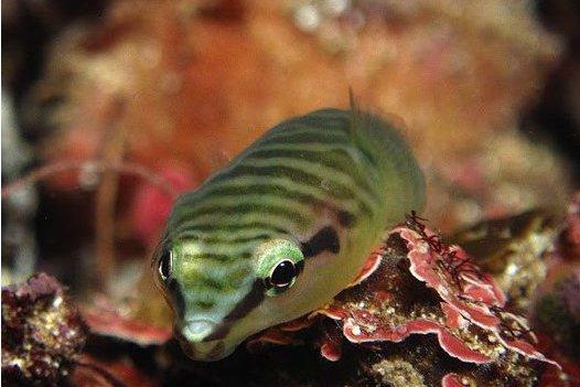 Tasmanian Clingfish, <i>Aspasmogaster tasmaniensis</i>