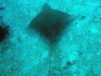 Ornate Eagle Ray, Aetomylaeus vespertilio