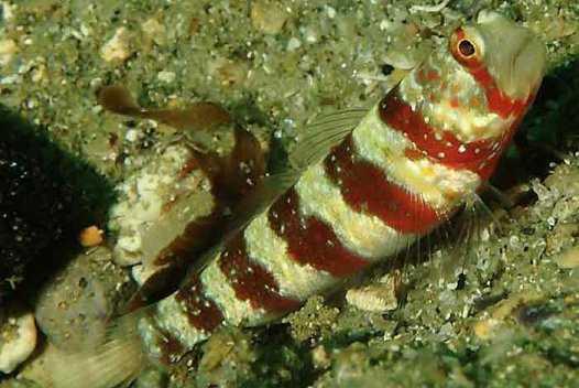 Burgundy Shrimpgoby