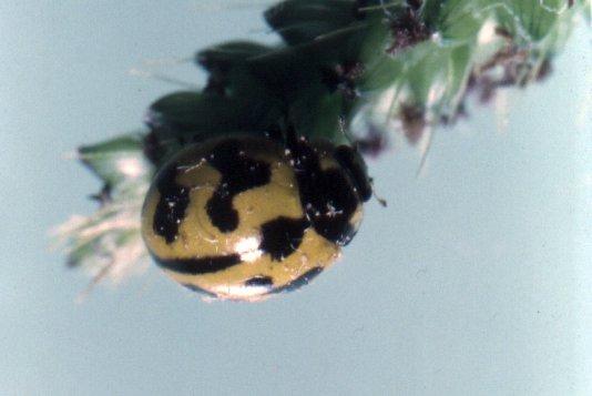Coccinella transversalis