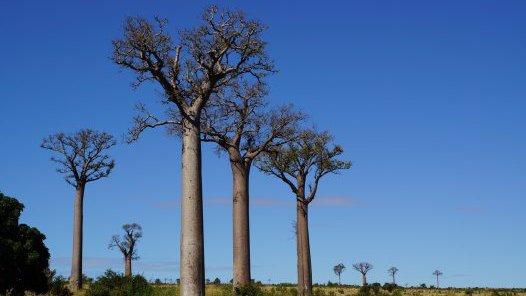 Madagascar 2012 - Baobabs