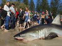 White Shark washed up on Byron Bay