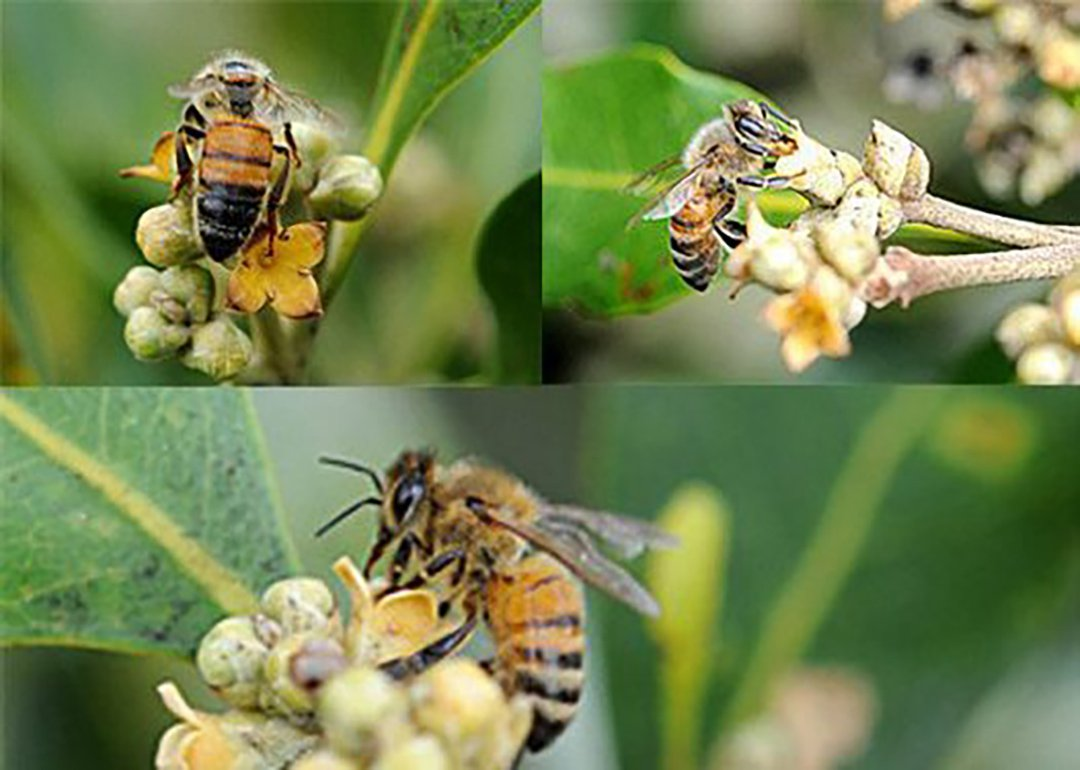 Honey bees visiting mangrove flower