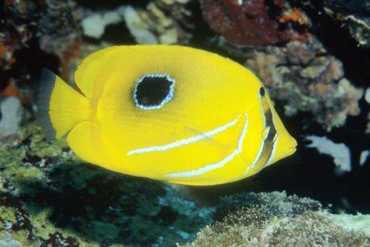 Bennett's Butterflyfish, Chaetodon bennetti