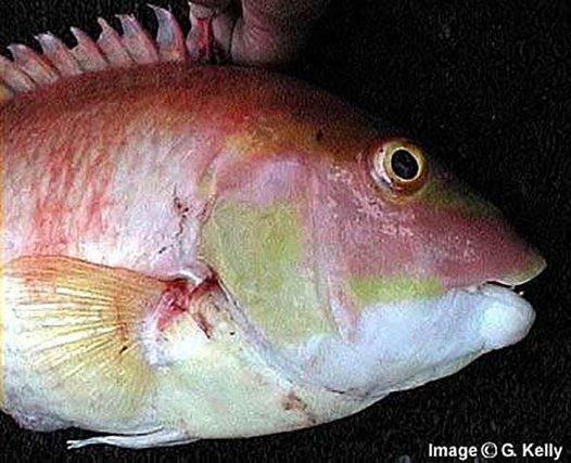 Masked Pigfish head