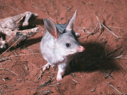 Bilbies are charactized by their large ears and long pointed snout.