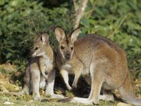 black-stripped wallaby