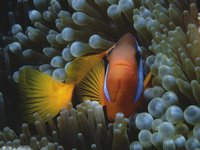 Red and Black Anemonefish