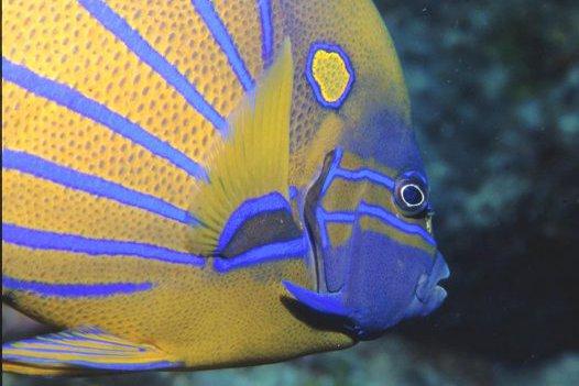 Blue-ringed Angelfish