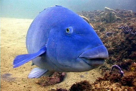 Eastern Blue Groper at Kurnell