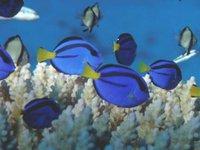 Juvenile Blue Tang